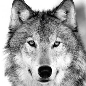 CraftEmotions servetten 5st - Wolf 33x33cm Ambiente 13308095