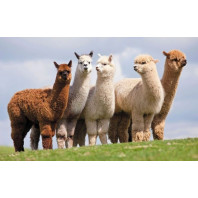 Diamond Painting ronde steentjes Alpaca's