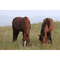 Diamond Painting vierkant grazende paarden